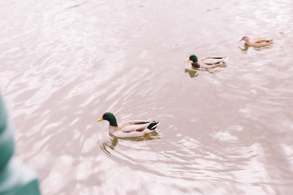Ducks swimming in Mill Pond
